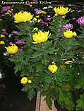 маточник хризантема Cosmo Yellow (Космо Єллоу), фото 3