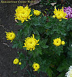 маточник хризантема Cosmo Yellow (Космо Єллоу), фото 2