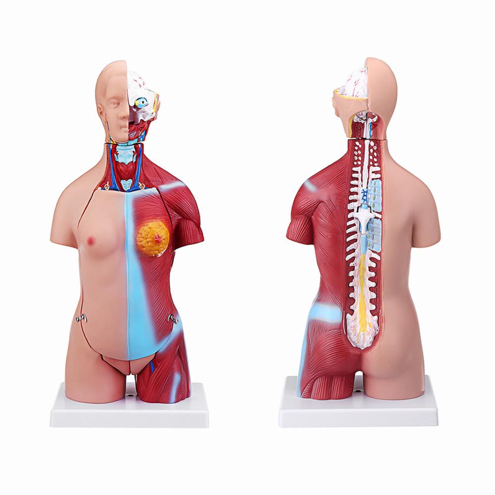 55см Анатомия человека Унисекс Торс Ассамблеи Висцеральный анатомический Медицинская Модель - 1TopShop