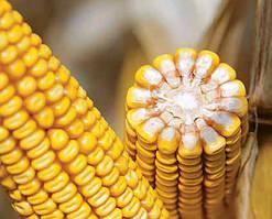 Семена кукурузы Pioneer PR38N86