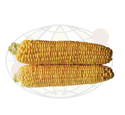 Семена кукурузы AGX 11-195 F1, Agri Saaten 5 000 семян