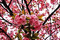 Сакура «Канзан» - Prunus serrulata «Kanzan»