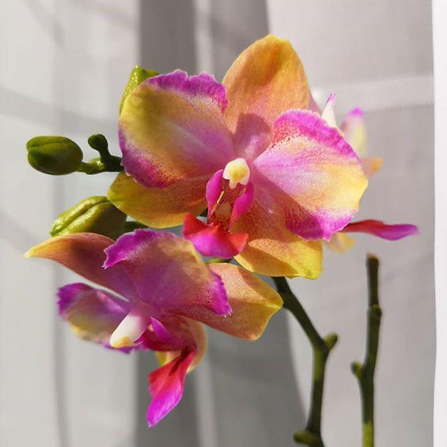 Орхидея фаленопсис. Сорт Taisuco Jasper размер 2.5 без цветов