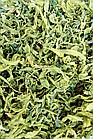 Іван-чай Зелений крупний лист Иван-чай крупнолистовой, фото 2