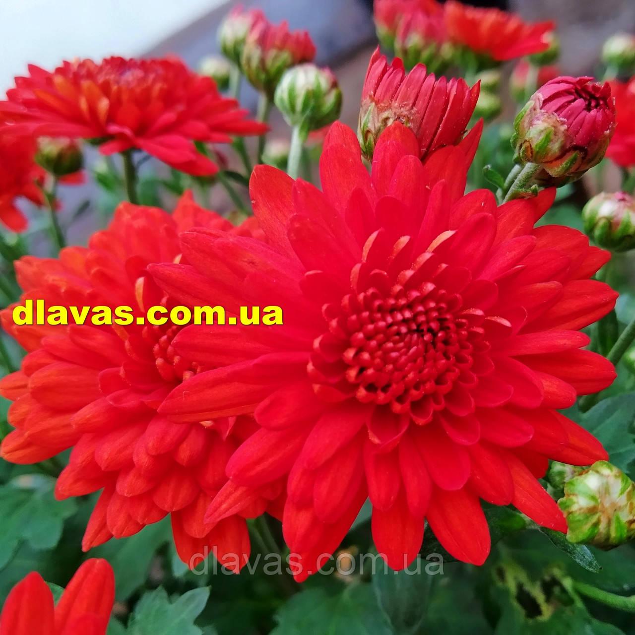 Хризантема  шаровидная ФАКЕЛ