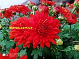 Хризантема  шаровидная ФАКЕЛ, фото 2
