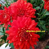 Хризантема  шаровидная ФАКЕЛ, фото 3