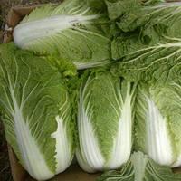 Семена пекинской капусты Нукоми, Семена овощей профессиональные Agri Saaten 50 грамм