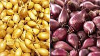 Посев на зиму лука севка: преимущества и особенности посадки