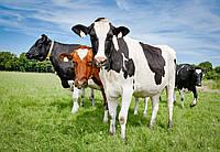 Особенности кормления коров в летний период