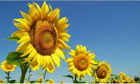 Насіння соняшника Карлос 105 (під Євролайтнінг), фото 2