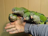 Как приучить попугая? Как наладить контакт с попугаем? Как сделать ручным попугая?