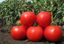Насіння томату Насіння томату Каста (Зірок) F1 5000 насіння (детермінантний)