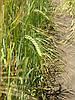 Семена ячменя ярового Ксанаду,элита