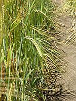 Семена ячменя ярового Ксанаду, первая репродукция