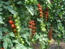 Семена томата Хилма F1 1000 семян (индетерминантный)