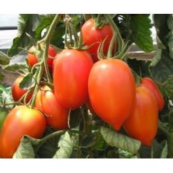 Семена томата Колибри F1 1000 семян (индетерминантный)