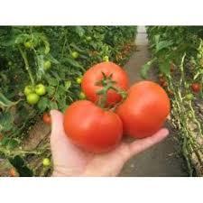 Семена томата Картье F1 1000 семян (индетерминантный)