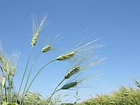 Семена пшеницы твёрдой яровой Чадо, элита