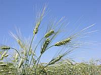 Семена пшеницы твёрдой яровой Нащадок, элита