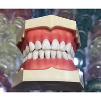 Зубная модель без артикулятора, 28 зубов Smedent
