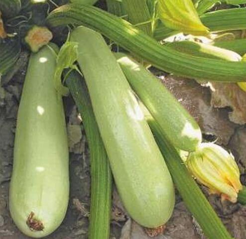 Семена кабачка ранний гибрид Дафна F1 Syngenta для открытого грунта, профупаковка 500 семян