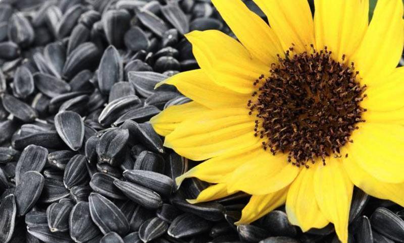 Насіння соняшнику Лакомка