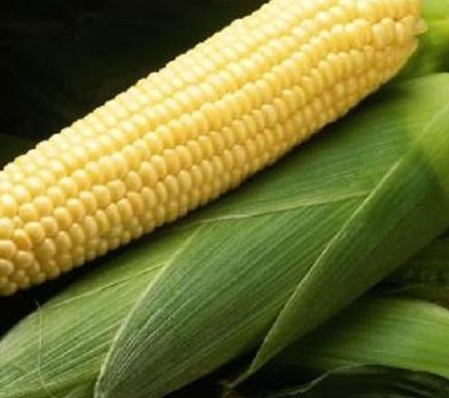 Семена кукурузы Бостон F1, Syngenta 100 000 семян