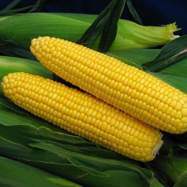 Семена кукурузы Спирит F1, Syngenta 100 000 семян