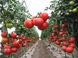 Гравитет F1 500 шт семена томата среднерослого Syngenta Голландия, фото 2