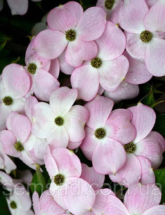 "Дерен флорида "" Стеллар Пинк""  \ Cornus florida  Stellar Pink ( саженцы 2года 30-50см) Дерен китайский"