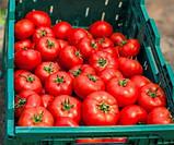 Квалитет(Т-97082 F1) 10 шт семена томата среднерослого Syngenta Голландия, фото 3