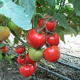 Квалитет(Т-97082 F1) 10 шт семена томата среднерослого Syngenta Голландия, фото 2