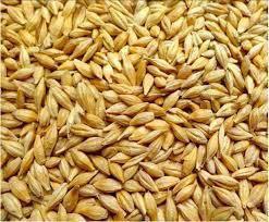 Семена ярового ячменя ГАЛИЧАНИН элита 1 репродукция