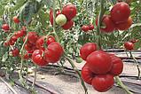 Девонет F1 10 шт семена томата среднерослого Syngenta Голландия, фото 2