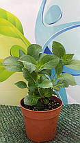 Гортензия крупнолистна Ю энд ми Лав  \ Hydrangea macrophylla You & Me Love ( саженцы) Новинка, фото 3
