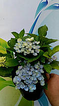 "Гортензия крупнолистная "" Графин Косел"" \ Hydrangea macrophylla Gräfin Cosel  ( саженцы ), фото 3"
