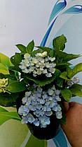 """Гортензия крупнолистная макрофила """" Джип Блю"""" \ Hydrangea macrophylla Jip Blue ( саженцы ), фото 3"""