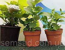 Гортензия крупнолистная Спайк Ред \Hydrangea macrophylla Curly Sparkle Red ( саженцы ) Новинка, фото 3