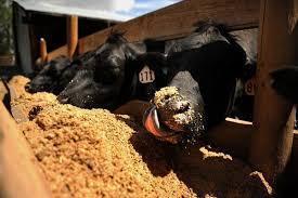 Корм сирая свежая пывная дробина для коров