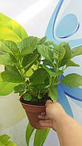 "Гортензия  крупнолистная Гертруда Глахн \ Hydrangea macrophylla ""Gertrud Glahn"" ( саженцы  ), фото 2"