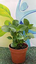 Гортензия крупнолистная Мэджикал Ноблесс \ Hydrangea macrophylla Magical 'Noblesse ( саженцы ), фото 3