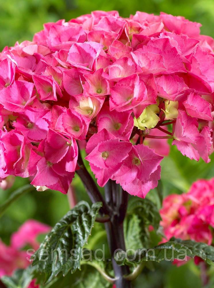 Гортензия крупнолистная Стайл Пинк \ Hydrangea macrophylla Style Pink ( саженцы)