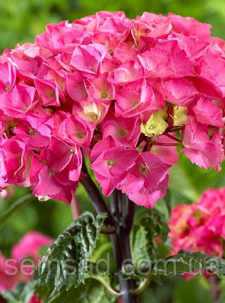 Гортензия крупнолистная Стайл Пинк \ Hydrangea macrophylla Style Pink ( саженцы), фото 2