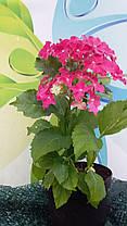 "Гортензия крупнолистная ""Ховария Хопайлайн"" \  Hydrangea macrophylla Hovaria ® Hopaline ( саженцы  ), фото 3"