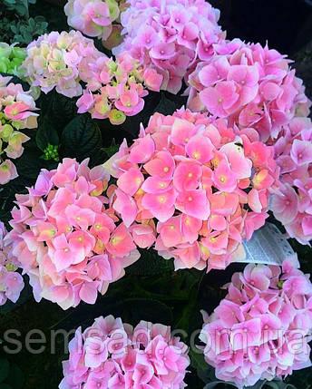 "Гортензия крупнолистная ""Ховария Хопайлайн"" \  Hydrangea macrophylla Hovaria ® Hopaline ( саженцы  ), фото 2"