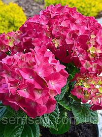 "Гортензия крупнолистная ""Сибилла"" \  Hydrangea macrophylla Hovaria Sybilla ( саженцы  )"