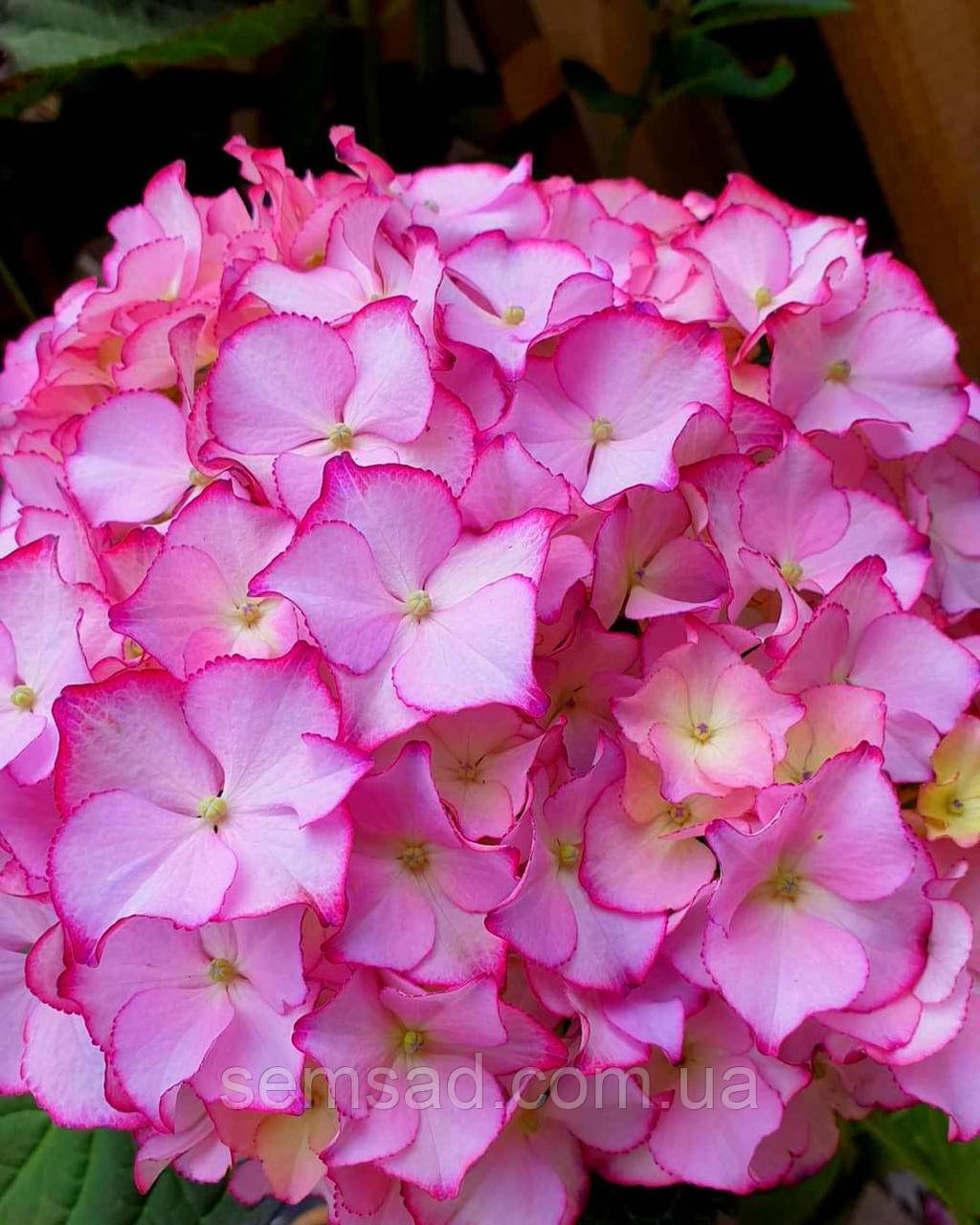 "Гортензия крупнолистная "" Мираи"" \ Hydrangea macrophylla Mirai   ( саженцы  )"
