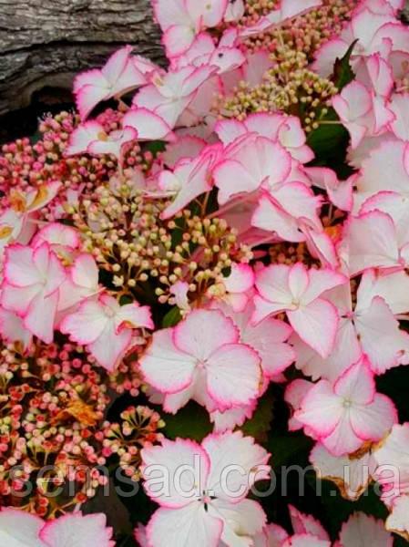 "Гортензия крупнолистная ""Ховария Лав ю Кисс"" \  Hydrangea macrophylla Hovaria Love you kiss ( саженцы  )"