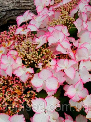 "Гортензия крупнолистная ""Ховария Лав ю Кисс"" \  Hydrangea macrophylla Hovaria Love you kiss ( саженцы  ), фото 2"